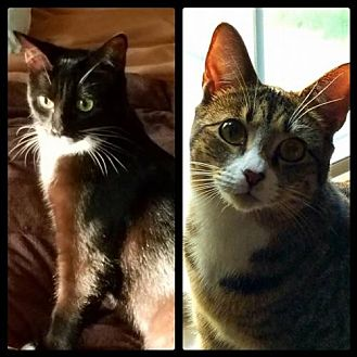 Domestic Shorthair Kitten for adoption in Hockessin, Delaware - Brandy and Bella