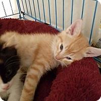 Adopt A Pet :: Kittens - Springfield, VA