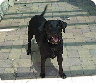 Labrador Retriever Mix Dog for adoption in Torrance, California - TONY