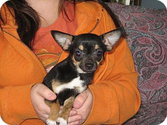 Chihuahua Dog for adoption in Greenville, Rhode Island - Peanut