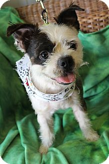 Boston Terrier Mix Dog for adoption in Bedminster, New Jersey - Monkey