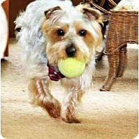 Adopt A Pet :: Bentley-Energetic - Commerce TWP, MI