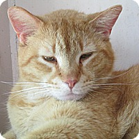Domestic Shorthair Cat for adoption in Plattekill, New York - Felix