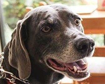 Weimaraner Dog for adoption in Birmingham, Alabama - Sissy