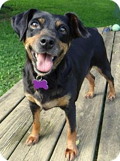 Miniature Pinscher Dog for adoption in Fairmont, West Virginia - Ruby