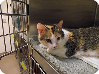Domestic Shorthair Cat for adoption in Chambersburg, Pennsylvania - Puppet