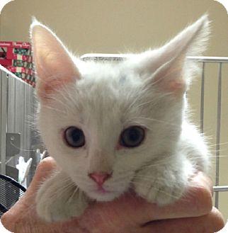 Domestic Shorthair Kitten for adoption in Putnam Hall, Florida - Candy