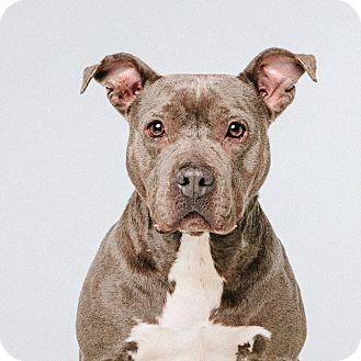 Staffordshire Bull Terrier/Terrier (Unknown Type, Medium) Mix Dog for adoption in Houston, Texas - Olive Oyl