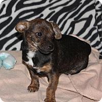 Adopt A Pet :: Sean A Dachshund mix puppy - Arlington, WA