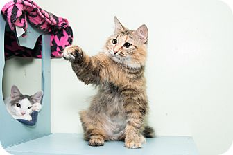 Maine Coon Cat for adoption in Chicago, Illinois - Layla
