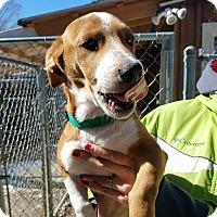 Beagle/Corgi Mix Puppy for adoption in Freeport, Maine - Max