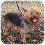Photo 2 - Yorkie, Yorkshire Terrier/Silky Terrier Mix Dog for adoption in West Palm Beach, Florida - Kenzie