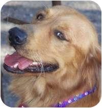 Golden Retriever Mix Dog for adoption in Scottsdale, Arizona - Abbey