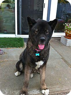 Akita Dog for adoption in Hayward, California - Noah