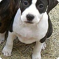 Adopt A Pet :: Oreo - Spring Branch, TX
