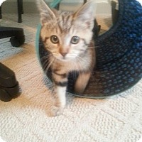 Adopt A Pet :: Wilma 2 - Plainville, MA