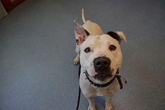 Pit Bull Terrier Mix Dog for adoption in Bay Shore, New York - Yahtzee