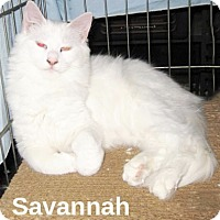 Domestic Longhair Cat for adoption in San Ysidro, California - Savanah
