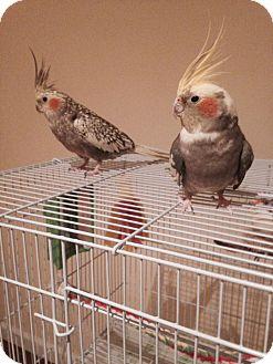 Cockatiel for adoption in St. Louis, Missouri - Daisy & Duke