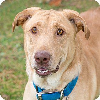 Labrador Retriever/Shar Pei Mix Dog for adoption in Westfield, New York - Maxx