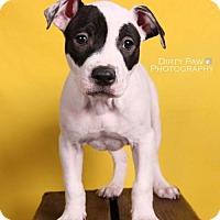 Adopt A Pet :: Amore - Bristow, VA