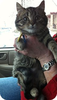 Domestic Shorthair Kitten for adoption in Pittstown, New Jersey - Olivia