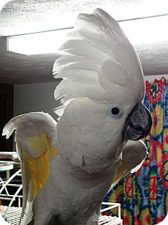Cockatoo for adoption in Lenexa, Kansas - Halo