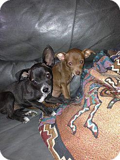 Chihuahua Mix Puppy for adoption in Scottsdale, Arizona - Chocolate