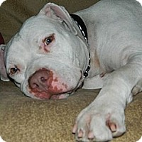 Adopt A Pet :: Blanco-courtesy posting - Phoenix, AZ