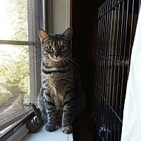 Domestic Shorthair Cat for adoption in Berkeley Hts, New Jersey - Tiger (aka Swizzle)