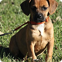 Adopt A Pet :: Bentley - Brattleboro, VT