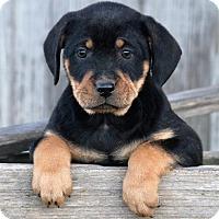 Adopt A Pet :: *Darwin - PENDING - Westport, CT