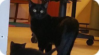 Siamese Cat for adoption in Villa Hills, Kentucky - Midnight