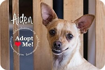 Chihuahua Mix Dog for adoption in Mesa, Arizona - Aiden