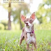 Italian Greyhound/Chihuahua Mix Dog for adoption in Denton, Texas - Chloe Justice