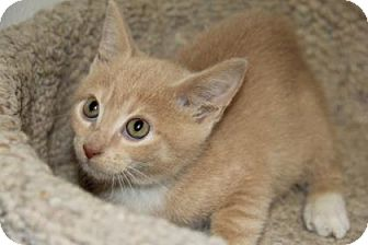 Domestic Shorthair Kitten for adoption in Greensboro, North Carolina - Jasper