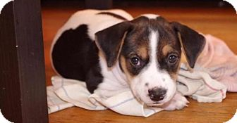 Labrador Retriever Mix Puppy for adoption in Brooklyn, New York - Opie