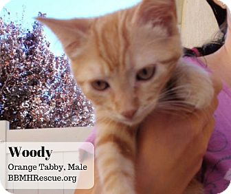 Domestic Shorthair Kitten for adoption in Temecula, California - Woody