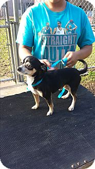 Chihuahua Dog for adoption in San Antonio, Texas - Lopez