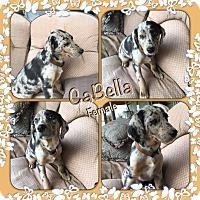 Adopt A Pet :: Cabella pending adoption - Manchester, CT