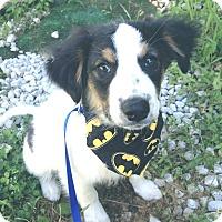 Adopt A Pet :: Beaux 💙 DOB 2/20/17! - Saratoga Springs, NY