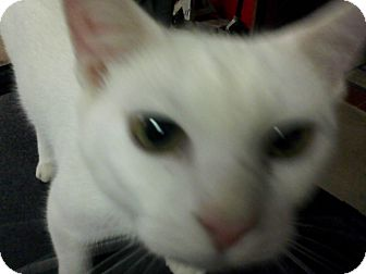 Domestic Shorthair Cat for adoption in Warren, Ohio - Casper