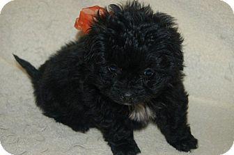 Poodle (Standard)/Dachshund Mix Puppy for adoption in Hazard, Kentucky - Lola