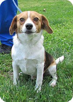 Beagle Dog for adoption in Bardonia, New York - Rocky