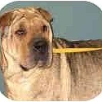 Adopt A Pet :: Sugar - Bethesda, MD