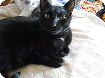 Domestic Shorthair Cat for adoption in Abrams, Wisconsin - Eddie Fisher