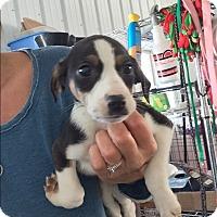 Adopt A Pet :: Carley - Brazil, IN