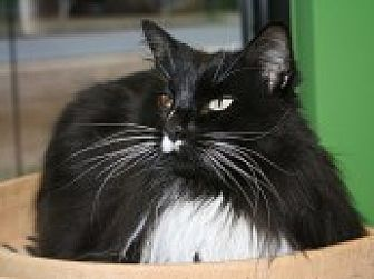 Domestic Longhair Cat for adoption in Marietta, Georgia - Buddy
