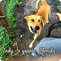 Adopt A Pet :: Indy (fostered in FL) - Cranston, RI