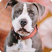 Adopt A Pet :: Gino - Portland, OR